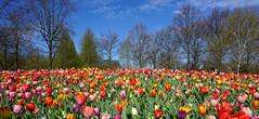 A whole bunch of tulips,... (Wim van Bezouw) Tags: flower panorama sony keukenhof nature plant sky tree