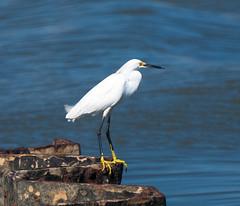 DSC_4411 (capt_tain Tom) Tags: egret whiteheron whiteegret waterbirds shorebird shorebirds gulfofmexico