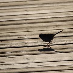 Shadow Bird (pattyg24) Tags: horiconmarsh wisconsin bird boardwalk nature shadow summer
