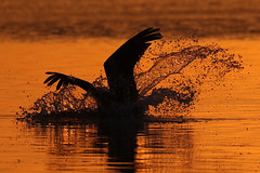 Brown Pelican Silhouette Diving at Sunset (dbadair) Tags: sunset ft desoto pelicans wildlife nature 7dm2 canon sun dusk evening twilight