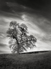 A Pleasant Tree (StefanB) Tags: 1235mm 2017 arastraderopreserve bw california em5 geotag hiking monochrome outdoor tree treescape