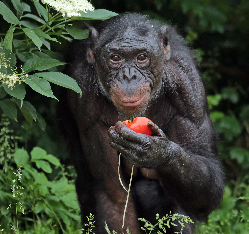 bonobo research paper Read bonobo taxonomy free essay and over 88,000 other research documents bonobo taxonomy studying the bonobo has given researchers much insight into our closest living relative.