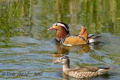 sD40_7275 (Eyas Awad) Tags: eyasawad nikond4 sigma500f45 bird birds birdwatching wildlife nature anatramandarina aixgalericulata