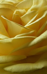 Zigzag (DavidSteele31) Tags: zigzag rose petals yellow skislope goingdown