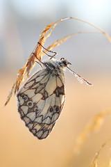 IMG_1999 (izagajewska) Tags: świtak komorów 2017 łąka motyle rowerem 340 mgła wschod wschodslonca zalew w komorowie zalewwkomorowie switaczekkomorowski niemaspania
