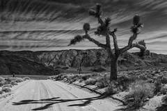 Joshua Tree (Michael Zahra) Tags: usa america california joshua tree bw bnw canon 7d yucca yuccabrevifolia black white grey gray desert road arid summer clouds sky sun
