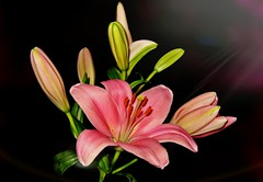 For You! (TonyFernando) Tags: flowers lilies pink macro pistil stamens petal