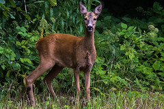 Rådjur (Capreolus capreolus) (Cecilia Adolfsson) Tags: dear rådjur capreoluscapreolus rörum österlen sweden sverige skåne tamronsp150600mmf563divcusdg2 tamron canon6d canon tele handheld nature wildlife outdoor