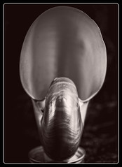 2017-198 Nautilus Shell (Darren Wilkin) Tags: edwardweston nautilusshell shell nautilus mono oneaday 365 macro
