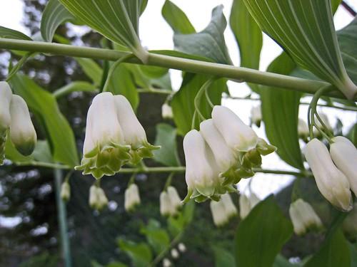 黃精屬 Polygonatum × hybridum  [挪威  Ulvik, Norway]