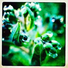 Dew drops. #takoma #dc #dclife #washingtondc #iPhone365 #iPhone7plus #iPhone #iPhonemacro #macro  #flower #flowersofinstagram #garden #home (Kindle Girl) Tags: iphone garden takoma dc dclife washingtondc iphone365 iphone7plus iphonemacro macro flower flowersofinstagram home