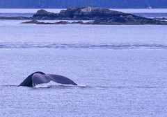Remembering Alaska (Feathered Trail Photos) Tags: alaska humpbackwhale whale