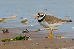 Ringed Plover-6878 (kevinmayhew62) Tags: titchwell ringedplover charadriushiaticula