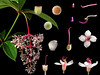 Melastomataceae Medinilla formosana (taiwanicus) Tags: 兩性花 bisexual flower 柱頭 stigma 子房 ovary 雌蕊 pistil 雄蕊 stamen