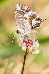 Cacyreus marshalli (breijar - MARCOS LOPEZ ALONSO) Tags: cacyreusmarshalli cacyreus marshalli macro macrofotografía d500 nikon 105mm