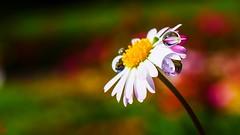 A nice flower - 3337 (YᗩSᗰIᘉᗴ HᗴᘉS +6 500 000 thx❀) Tags: macro flower drops droplet drop daisy pâquerette panasonicdmcgx8 panasonic lumix lumixgmacro30f28 hensyasmine