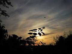 Good Morning Halo..x (Lisa@Lethen) Tags: halo weather morning sunrise dawn cloud cirrus silhouette raspberry bush sky outdoor bird