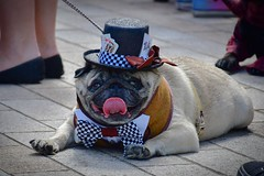 The player (hankp67) Tags: costume pug manchester pugfest