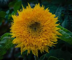 Sunflower (frankmh) Tags: plant flower sunflower sofierocastlegarden helsingborg skåne sweden outdoor macro