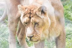 IMG_4158_DxO (QConnan-Photos) Tags: zooparcdetrégomeur zoo lion nature bretagne félin