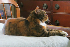 Gracie 12 July 2017 5693Ri 4x6 (edgarandron - Busy!) Tags: cat cats kitty kitties tabby tabbies cute feline gracie patchedtabby