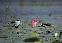 Pheasant Tailed Jacana (TARIQ HAMEED SULEMANI) Tags: winter wildlife sulemani summer tariq tourism trekking tariqhameedsulemani travel birds pakistan punjab photography jahanian