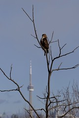 Red-tailed hawk (?) (SilkeBritt) Tags: toronto hawk redtailed humber bay