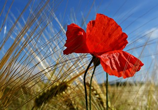 Poppy flower in grain field #8