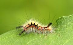 Vapourer caterpillar (Jillandcamera) Tags: