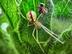 Hübsche Spinne in ihrem Versteck. (Wallus2010) Tags: spider nahaufnahme gegenlicht arachnide spinne