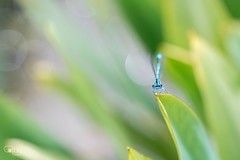 Damselfly | Waterjuffer (cathy's fotografie) Tags: damselfly waterjuffer vijver beek water blad groen blauw