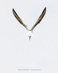 a common tern is looking for food (bodoedthofer) Tags: birds vögel fåglar fisktärna common tern seeschwalbe nature naturephotography animals djur tiere ocean nordic
