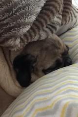 """I think 💭I may bees🐝Snuggles da Bear 🐻cuz my mom says I am…"" PugsleyLuigi  #pug #dog #bear #snuggles #mom #thinking #zen #sleep #sleepy #sleeping #cuddles #mama #love #dream (TheZenOfPugsleyLuigi) Tags: love dream pug dog bear snuggles mom thinking zen sleep sleepy sleeping cuddles mama"
