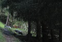biche (bulbocode909) Tags: valais suisse mottec valdanniviers biches forêts arbres nature montagnes vert zinal