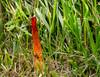 Stinkhorn fungus (Phallaceae) (lookseeseen) Tags: stinkhorn fungus