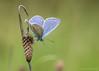 _AAH8992 (De Hollena) Tags: argusbleu blauwtje bläuling butterfly commonblue hauhechelbläuling icarusblauwtje mariposa papillon polyommatusicarus schmetterling