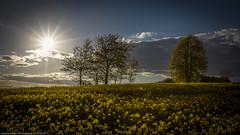 Raps im Gegenlicht (H.Roebke) Tags: sun 2017 landscape landschaft sonne sonnenuntergang germany rape sunset hannover kronsberg sommer raps explore