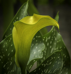 Calla Lily- (peter57117) Tags: callalily flower flowers