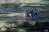 Hippo (Fippo Gomes) Tags: americana campinas canon eosm kitlens lentedokit zoo sãopaulo brazil br hipo hipopotamo