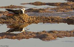 No Ninho (On the nest) (Fernando Delgado) Tags: blackwingedstilt commonstilt himantopushimantopus pernalonga pernilongo nature natureza naturephotographer fernandodelgado nest breeding aves waders limícolas