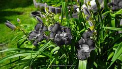 DSC00632 (Aldona Induła) Tags: hoyafilters sony a6000 bezedycji daylily flower garden hemmerocallis kwiat liliowiec ndx8filter notedited ogród prostozaparatu straightfromthecamera