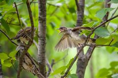 20170610-IMGP8807.jpg (Yunhyok Choi) Tags: feather beak tree nature brownearedbulbul wing nest summer bird wildlife fledgling animal hwaseongsi gyeonggido southkorea