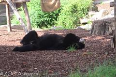 brilbeer - Tremarctos ornatus - Spectacled Bear (MrTDiddy) Tags: brilbeer tremarctos ornatus spectacled bear zamora zooantwerpen zoo antwerpen antwerp