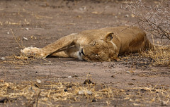 Golden Slumbers (AnyMotion) Tags: lion löwe pantheraleo female cat katze sleeping schlafend 2015 anymotion tarangirenationalpark tanzania tansania africa afrika travel reisen animal animals tiere nature natur wildlife 7d2 canoneos7dmarkii mupix