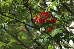 oh rowan tree! (205/365) (werewegian) Tags: werewegian jul17 glasgow city rowan tree berries red green summer 365the2017edition 3652017 day205 24jul17