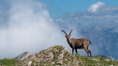 Alpensteinbock 17022 (bertheeb) Tags: alpensteinbock nikon d750