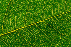 Leaf (ralf.st) Tags: rose grün 2017 macro pflanze textur sigma105mm makro blatt macromondays gegenlicht ralfstamm