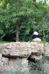 Großer Panda (2012) - National Zoo, Washington DC (HendrikSchulz) Tags: 2012 canon canoneos600d hendrikschulz hendriktschulz nationalzoo tierfotografie us usa unitedstates unitedstatesofamerica washingtondc zoo animalphotography zoophotography zoofotografie smithsonians smithsonian sp70300mmf456divcusd tamronsp sp tamron