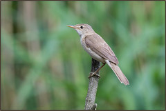Reed Warbler (image 1 of 2) (Full Moon Images) Tags: kings dyke wildlife nature reserve bird reed warbler