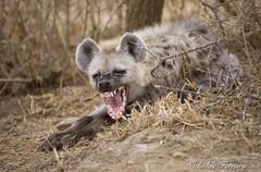 Hyena (Nicholas Ferrary) Tags: nicholasferrary nature nikon nikond800e nikon200400mmvr nikond810 d800e d810 200400mm vr2 nikon200400vr2 africa africanwildlife tanzania serengeti serengetinationalpark nationalpark animals mammals mammallife hyena